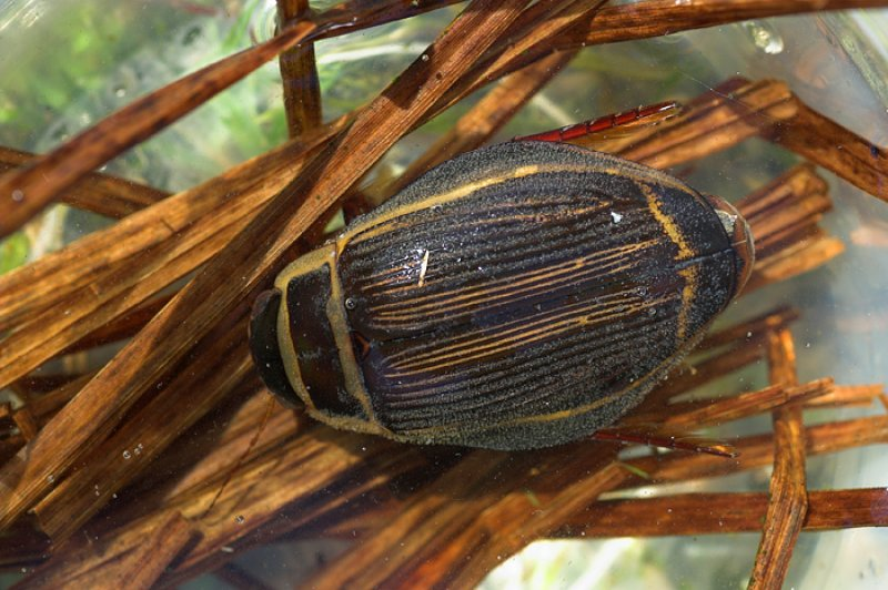 Óriás csíkbogár
